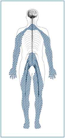 Peripheral neuropathy affects the nerves in your arms, hands, legs, and feet.