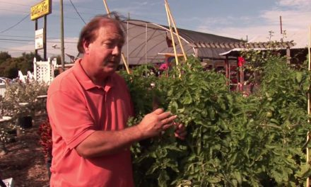 How to Grow Tomatoes : How to Prune Tomato Plants